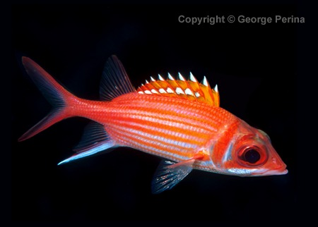 Longjaw Squirrelfish clipart #2, Download drawings