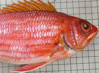 Longjaw Squirrelfish clipart #1, Download drawings