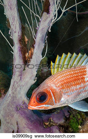 Squirrelfish clipart #17, Download drawings