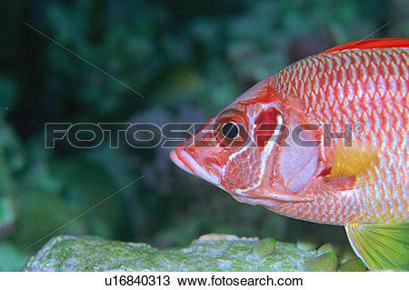 Squirrelfish clipart #14, Download drawings