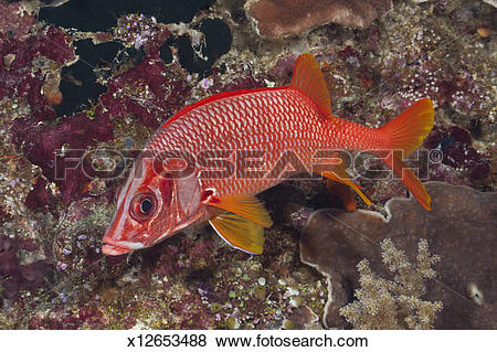 Longjaw Squirrelfish clipart #10, Download drawings