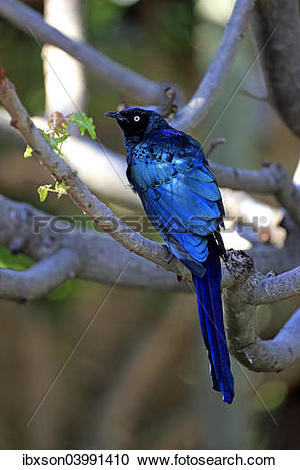 Long-tailed Glossy Starling clipart #20, Download drawings