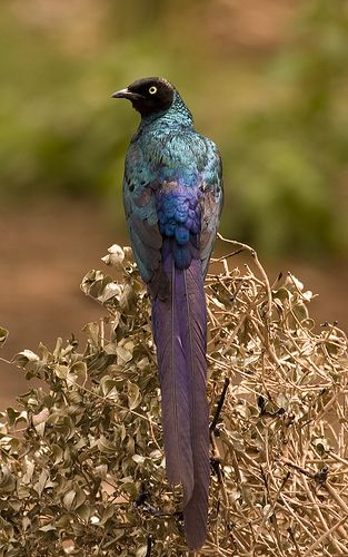 Long-tailed Glossy Starling clipart #3, Download drawings
