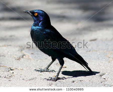 Long-tailed Glossy Starling clipart #12, Download drawings