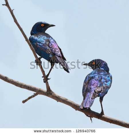 Long-tailed Glossy Starling clipart #11, Download drawings