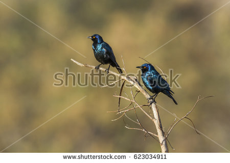 Long-tailed Glossy Starling clipart #4, Download drawings