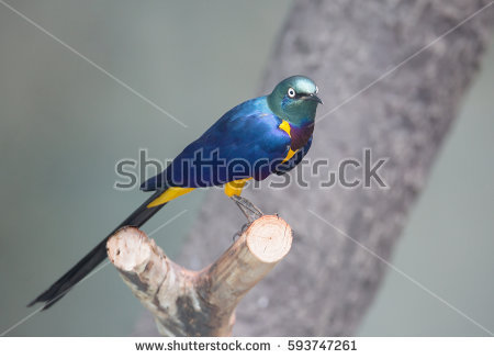 Long-tailed Glossy Starling clipart #19, Download drawings