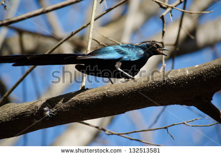 Long-tailed Glossy Starling clipart #16, Download drawings