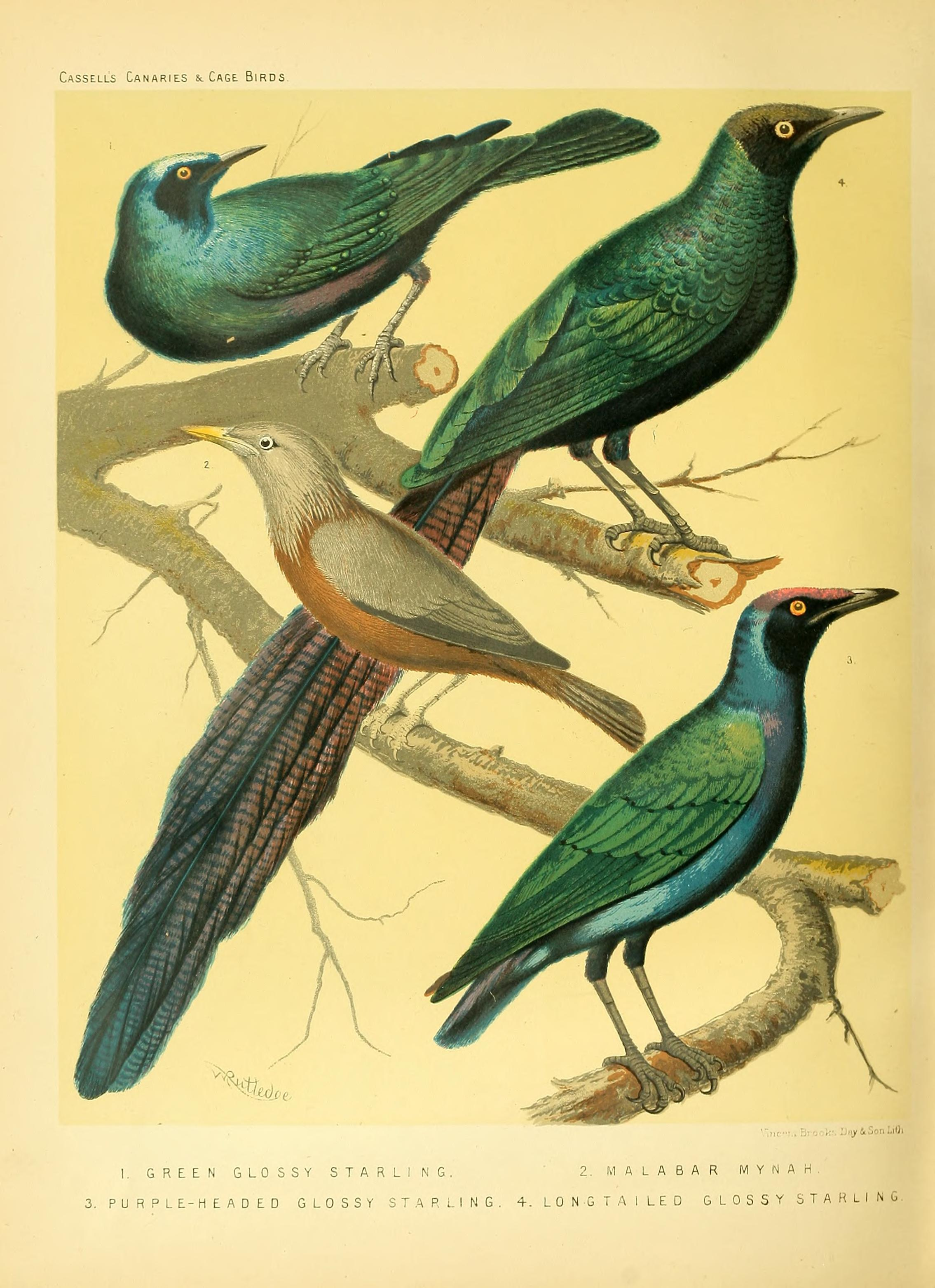 Long-tailed Glossy Starling svg #5, Download drawings