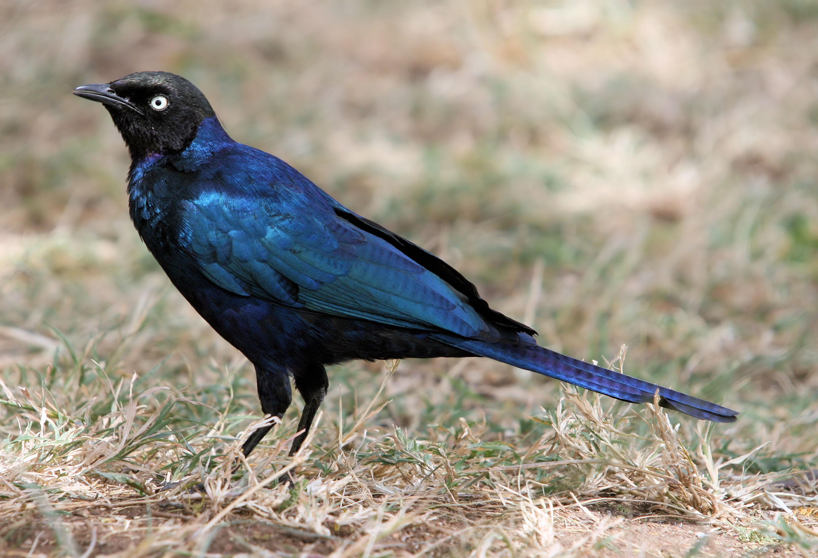 Long-tailed Glossy Starling svg #4, Download drawings