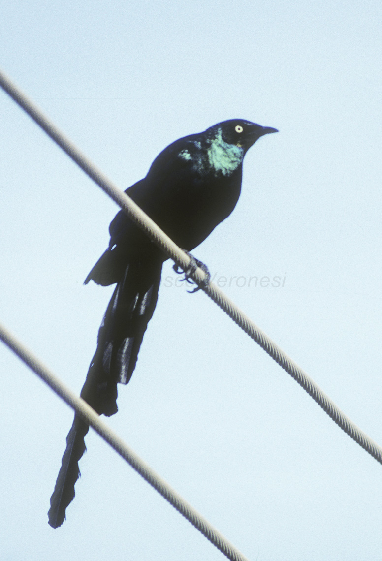 Long-tailed Glossy Starling svg #13, Download drawings