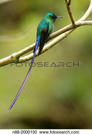 Long-tailed Sylph clipart #20, Download drawings
