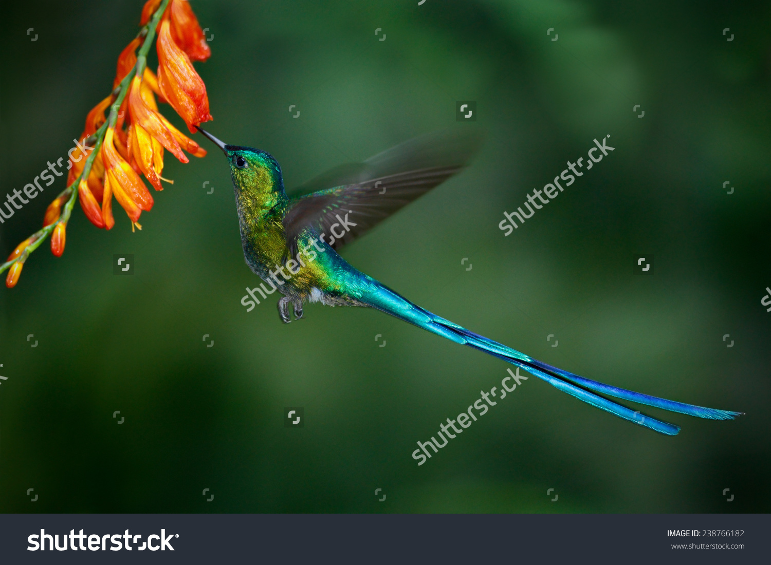 Long-tailed Sylph clipart #10, Download drawings