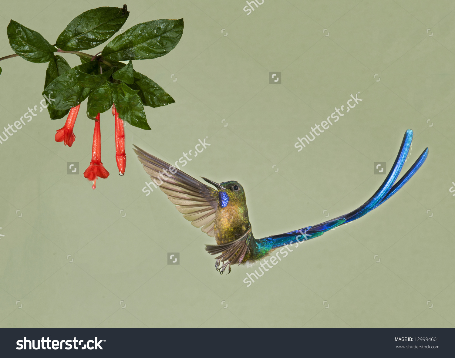 Long-tailed Sylph clipart #7, Download drawings