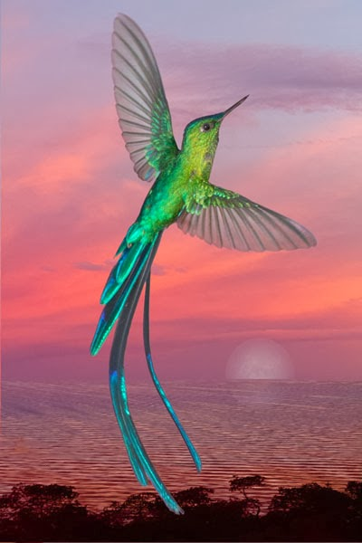 Long-tailed Sylph clipart #11, Download drawings