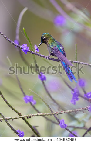 Long-tailed Sylph clipart #8, Download drawings