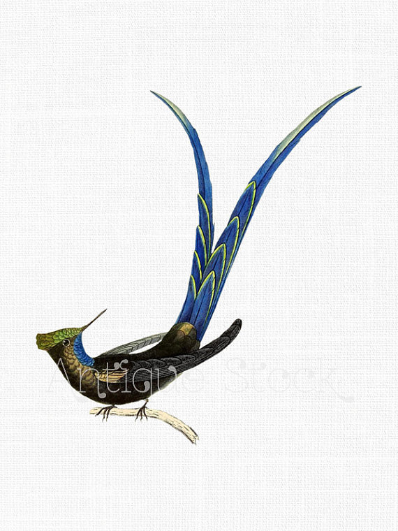 Long-tailed Sylph clipart #5, Download drawings
