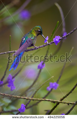 Long-tailed Sylph clipart #4, Download drawings