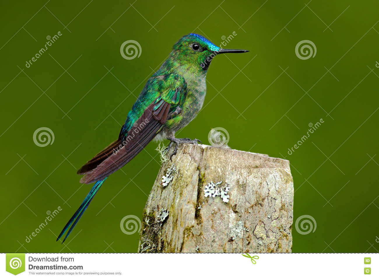 Long-tailed Sylph clipart #19, Download drawings