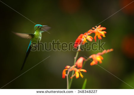 Long-tailed Sylph clipart #3, Download drawings