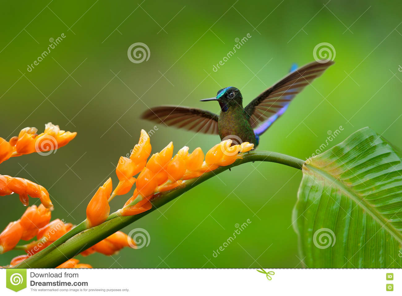 Long-tailed Sylph clipart #16, Download drawings