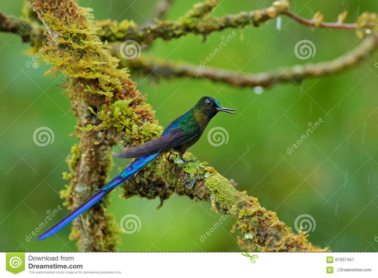 Long-tailed Sylph clipart #17, Download drawings