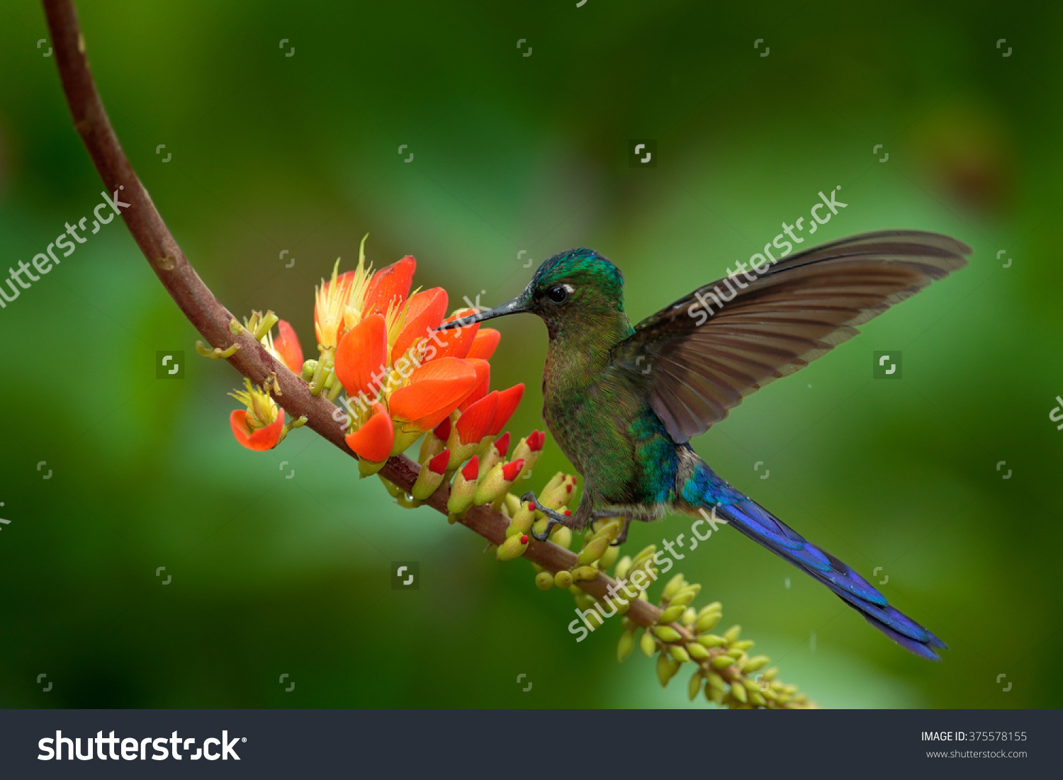Long-tailed Sylph clipart #13, Download drawings