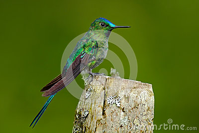 Long-tailed Sylph clipart #15, Download drawings
