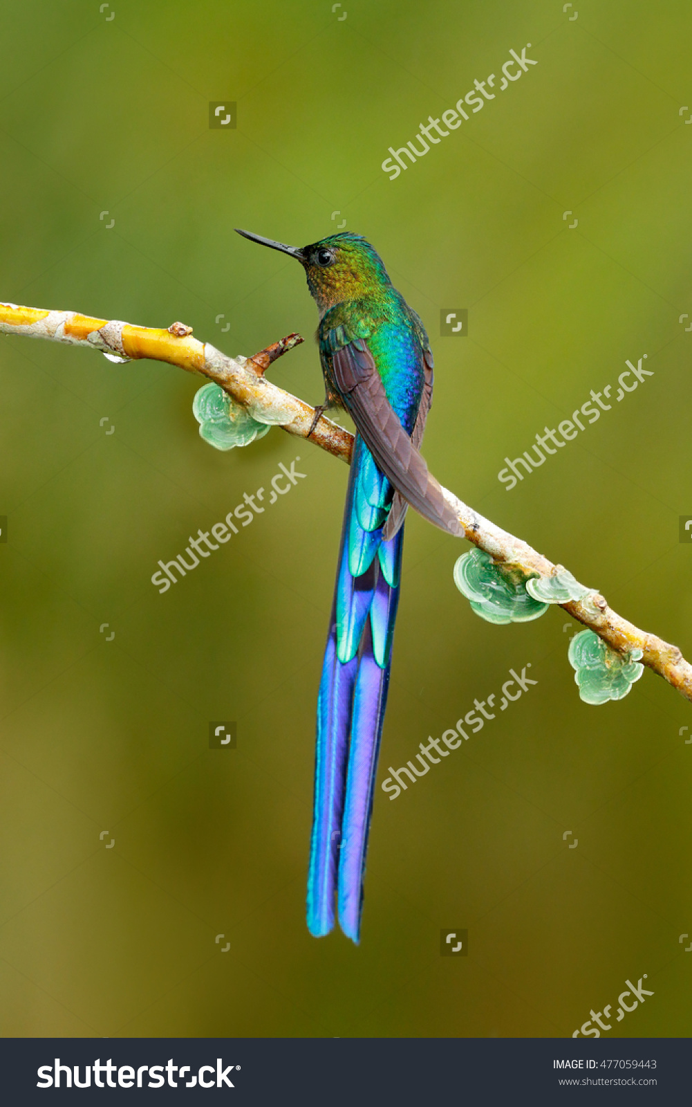 Long-tailed Sylph clipart #12, Download drawings