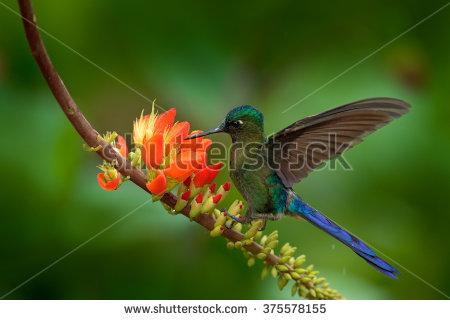 Long-tailed Sylph clipart #14, Download drawings