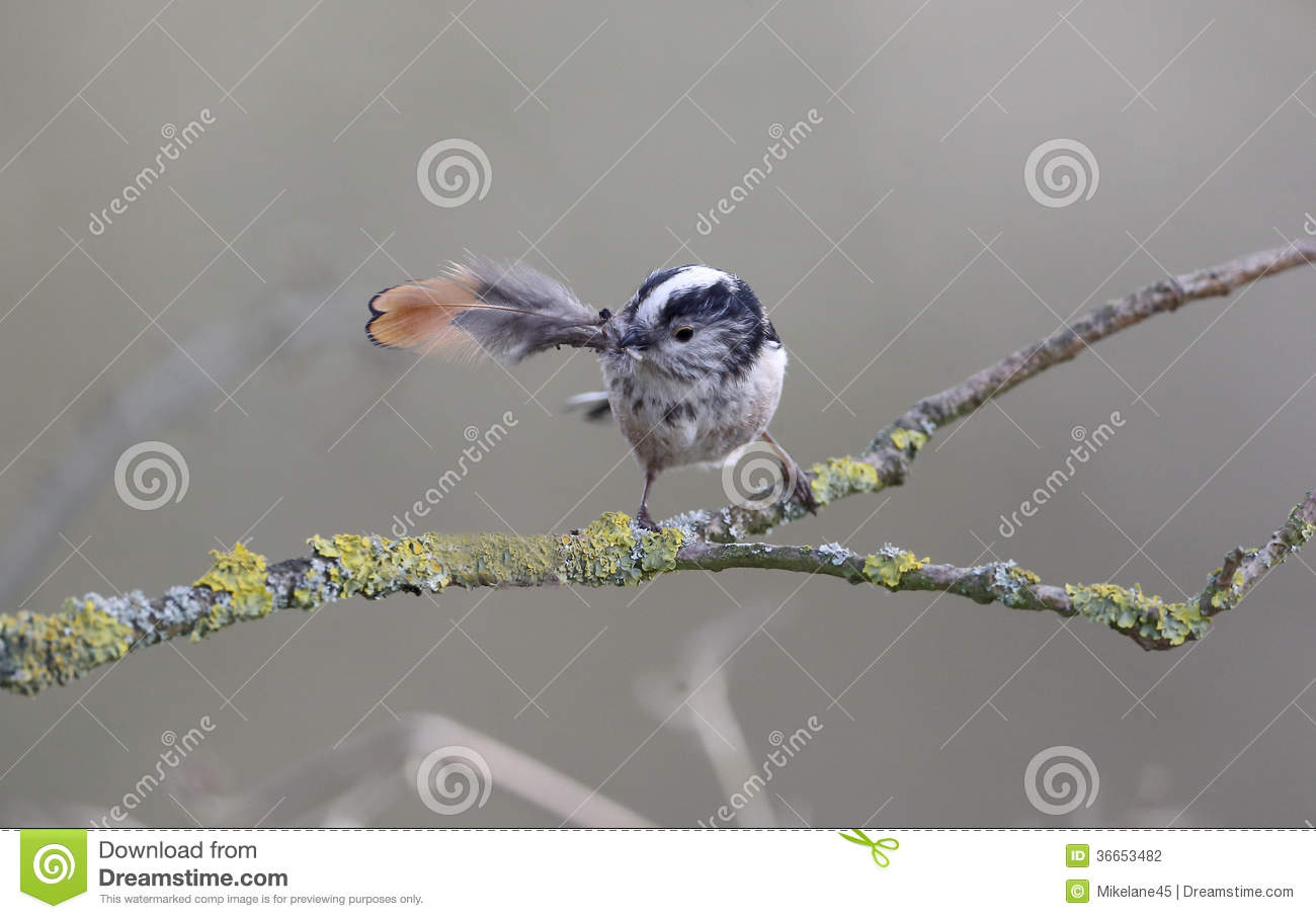Long-tailed Tit clipart #12, Download drawings