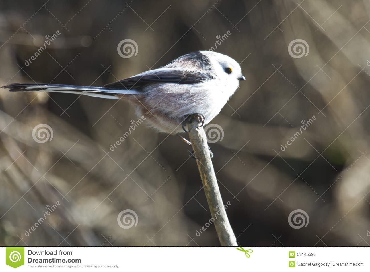 Long-tailed Tit clipart #11, Download drawings