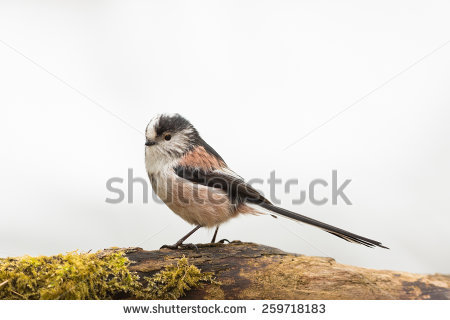 Long-tailed Tit clipart #8, Download drawings