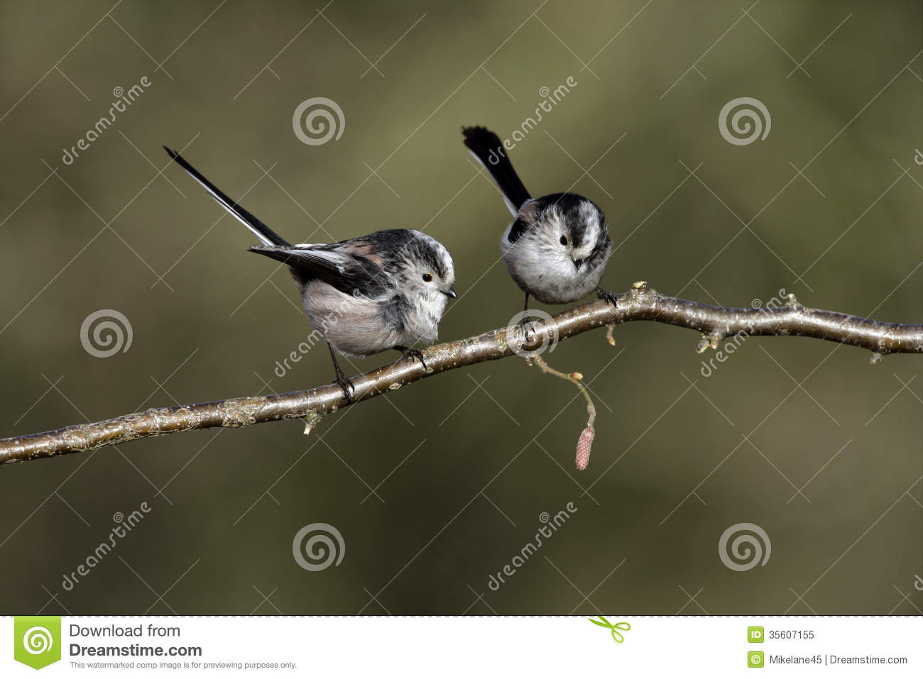 Long-tailed Tit clipart #9, Download drawings