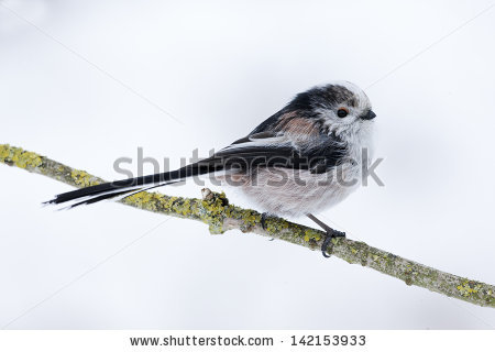 Long-tailed Tit clipart #3, Download drawings