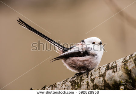 Long-tailed Tit clipart #2, Download drawings