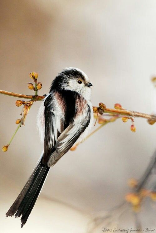 Long-tailed Tit svg #6, Download drawings