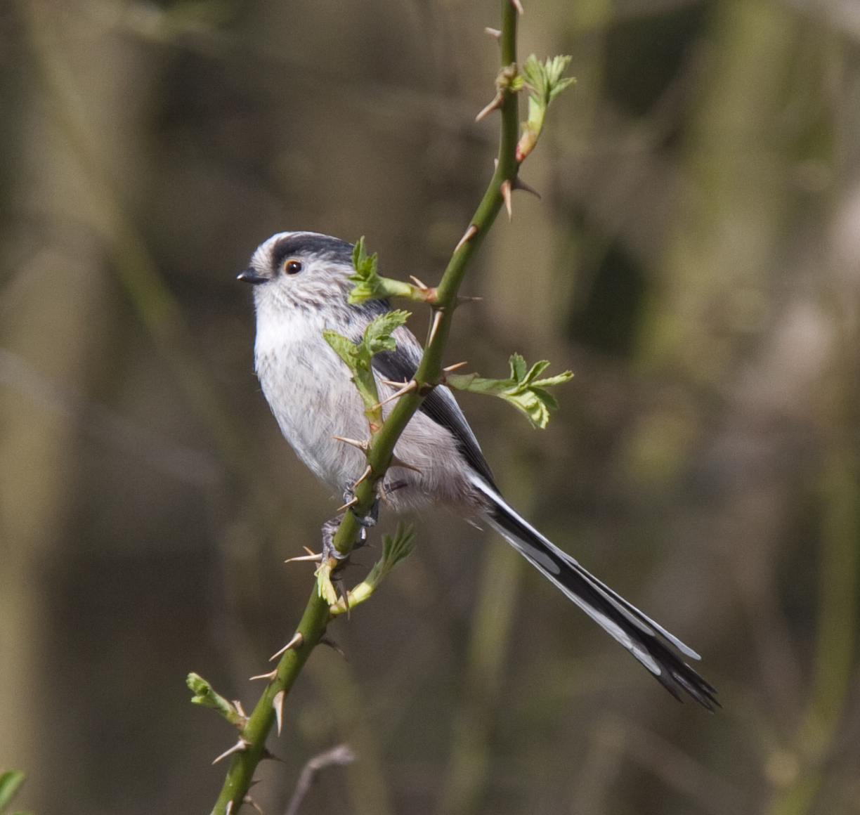 Long-tailed Tit svg #15, Download drawings