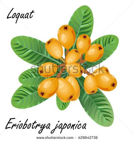 Loquat Berries clipart #10, Download drawings