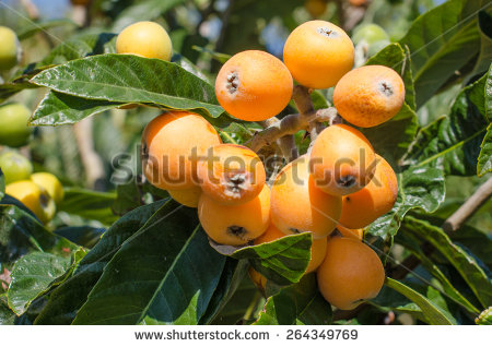 Loquat Berries clipart #4, Download drawings