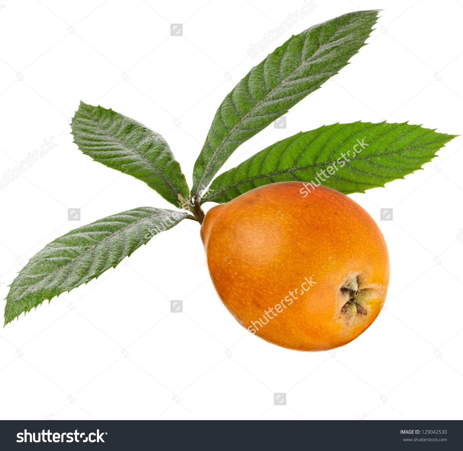 Loquat Berries clipart #1, Download drawings