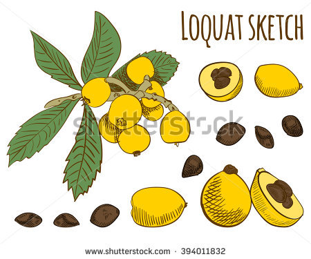 Loquat Berries clipart #13, Download drawings