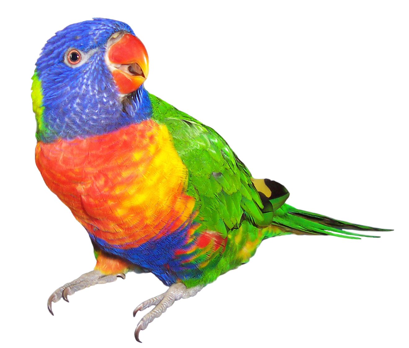 Rainbow Lorikeet clipart #9, Download drawings