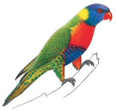 Lorikeet clipart #8, Download drawings