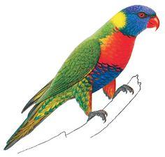 Rainbow Lorikeet clipart #19, Download drawings