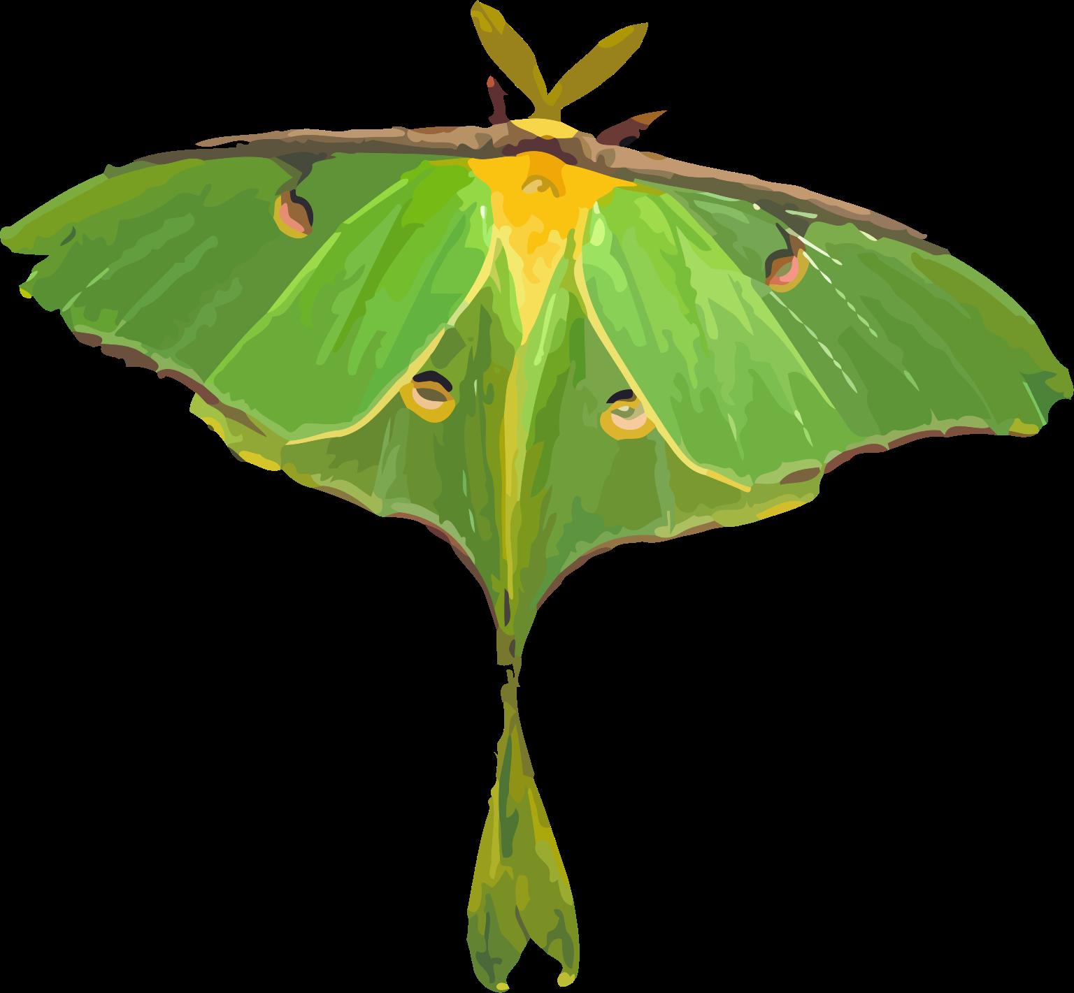 Pindi Moth clipart #8, Download drawings