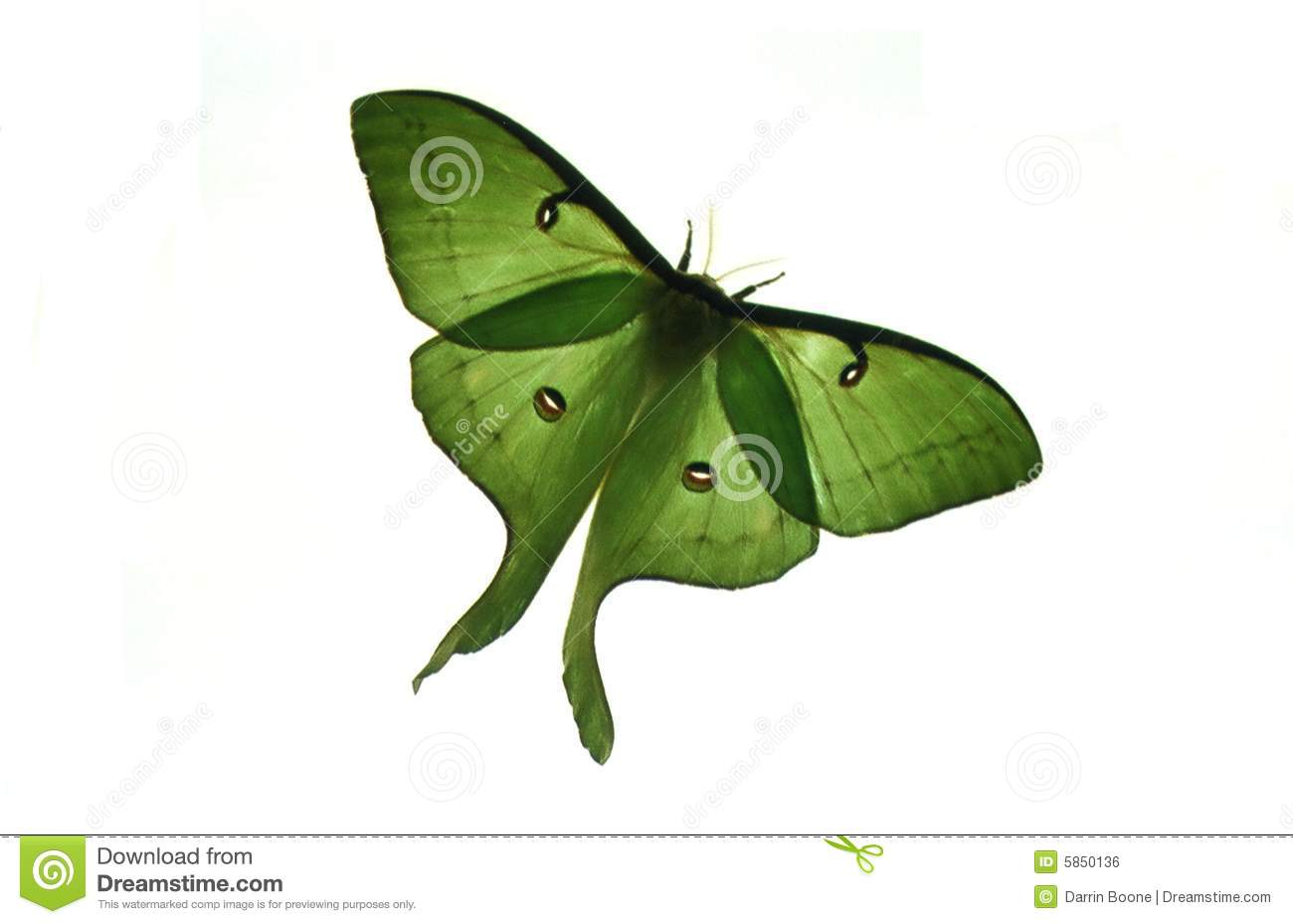 Luna Moth clipart #12, Download drawings