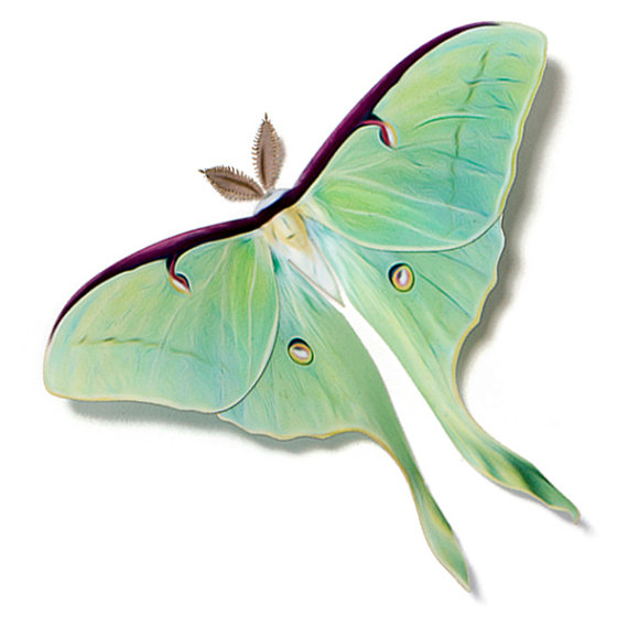 Luna Moth clipart #11, Download drawings