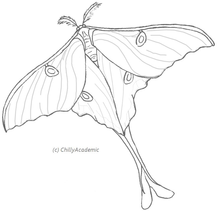 Luna Moth clipart #5, Download drawings