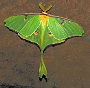 Luna Moth clipart #4, Download drawings